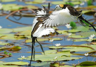 水雉的領域行為 Territorial behaviour of Pheasant-tailed Jacanas 3-3 | by Changhua Coast Conservation Action