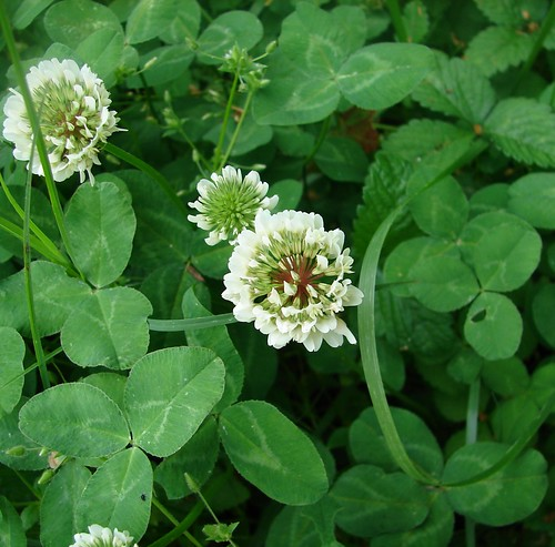 White clover blossom | by Martin LaBar (going on hiatus)