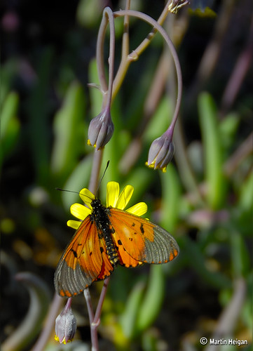 Butterfly on Succulent flower | by Martin_Heigan