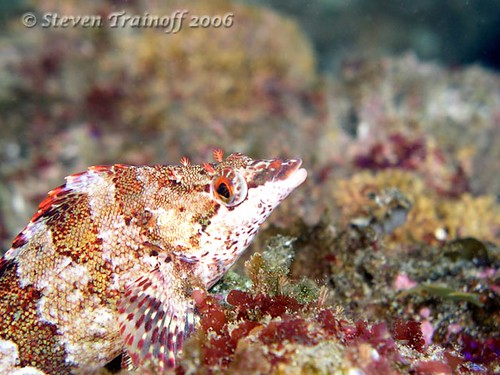 Painted Greenling | by - drsteve -