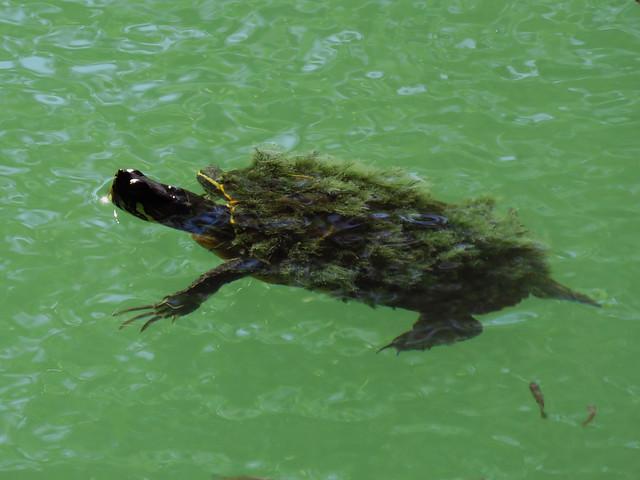turtle sp