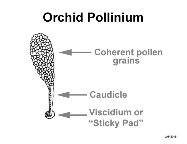 Mock-up of a Platanthera pollinium