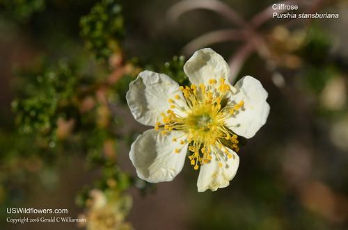 Stansbury's Cliffrose, Cliff Rose, Quininebush - Purshia stansburiana