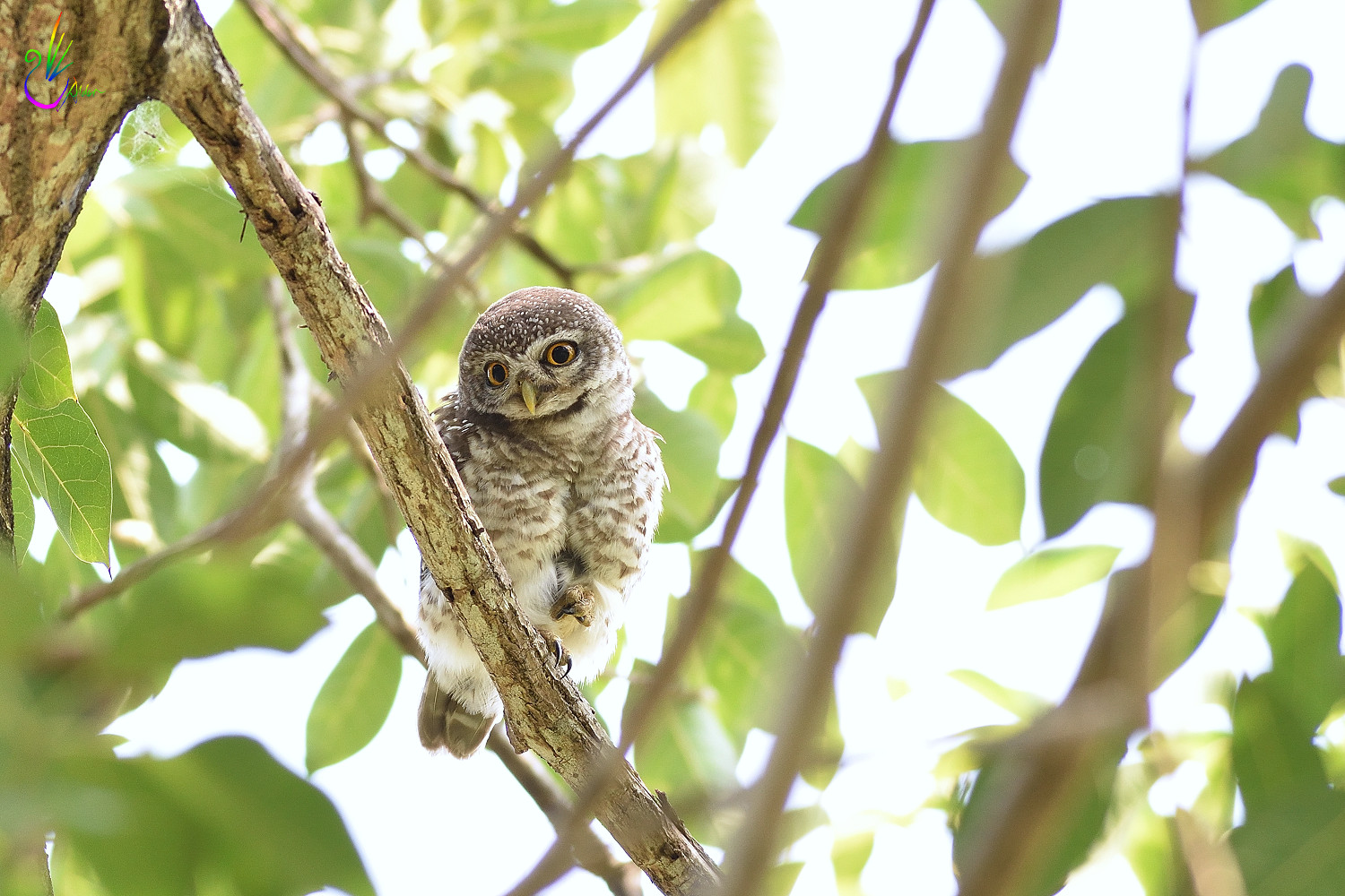 Spotted_Owlet_6825
