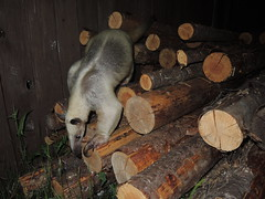 Aurora coming off the logs