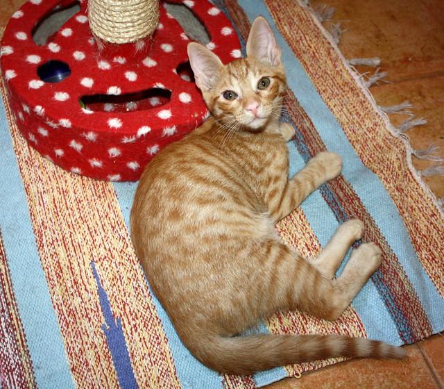 Jerry, gatito rubio guapo muy dulce y bueno, esterilizado, nacido en Abril´15 en adopción. Valencia. ADOPTADO. 19997494182_e9267f8924_z