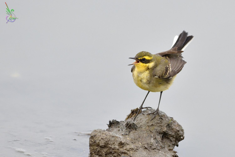 Yellow_Wagtail_6396