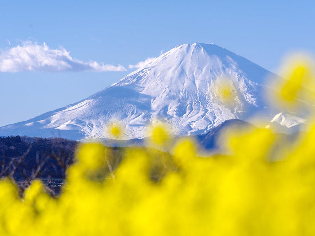 菜の花越しの富士