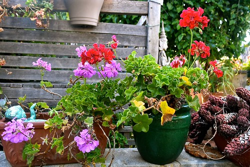 Ivy geraniums to contemplate in our garden on a Friday morning.