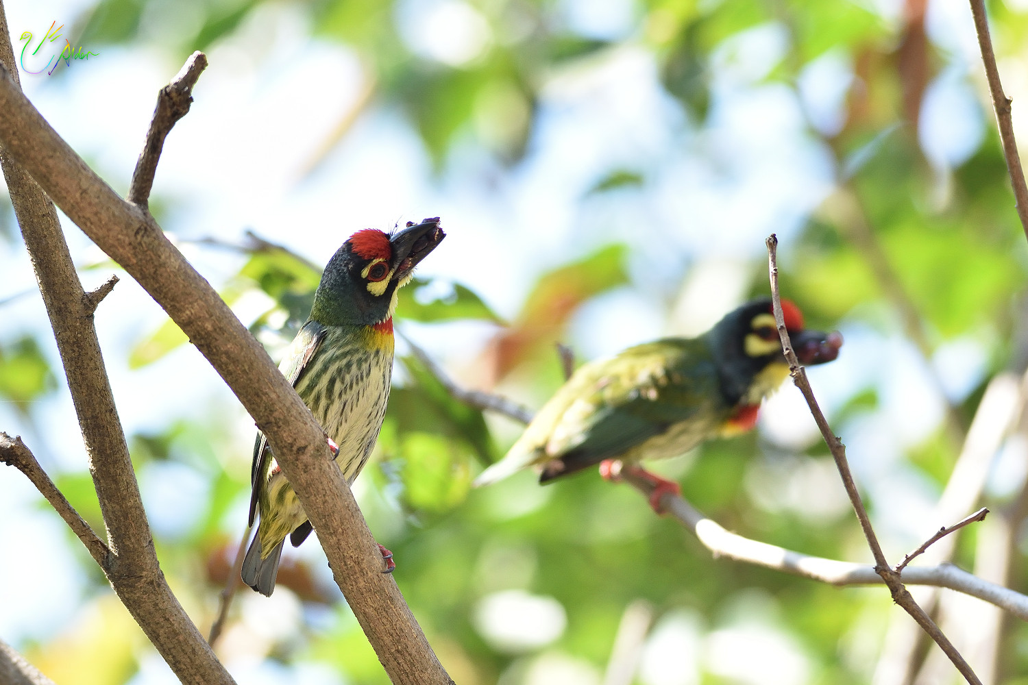 Coppersmith_Barbet_9063