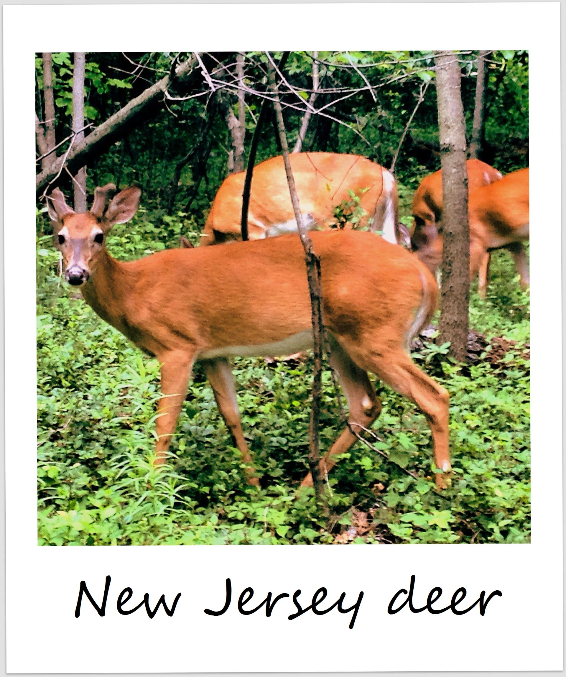 polaroid of the week usa new jersey deer