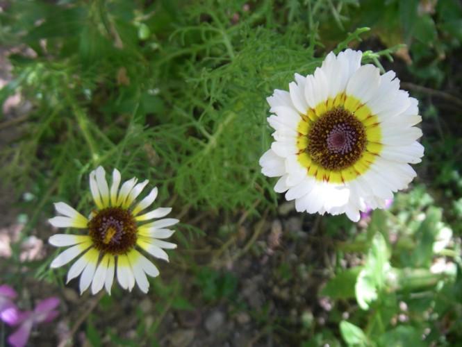 Chrysanthemum carinatum 18711450720_72ef53fd4b_o