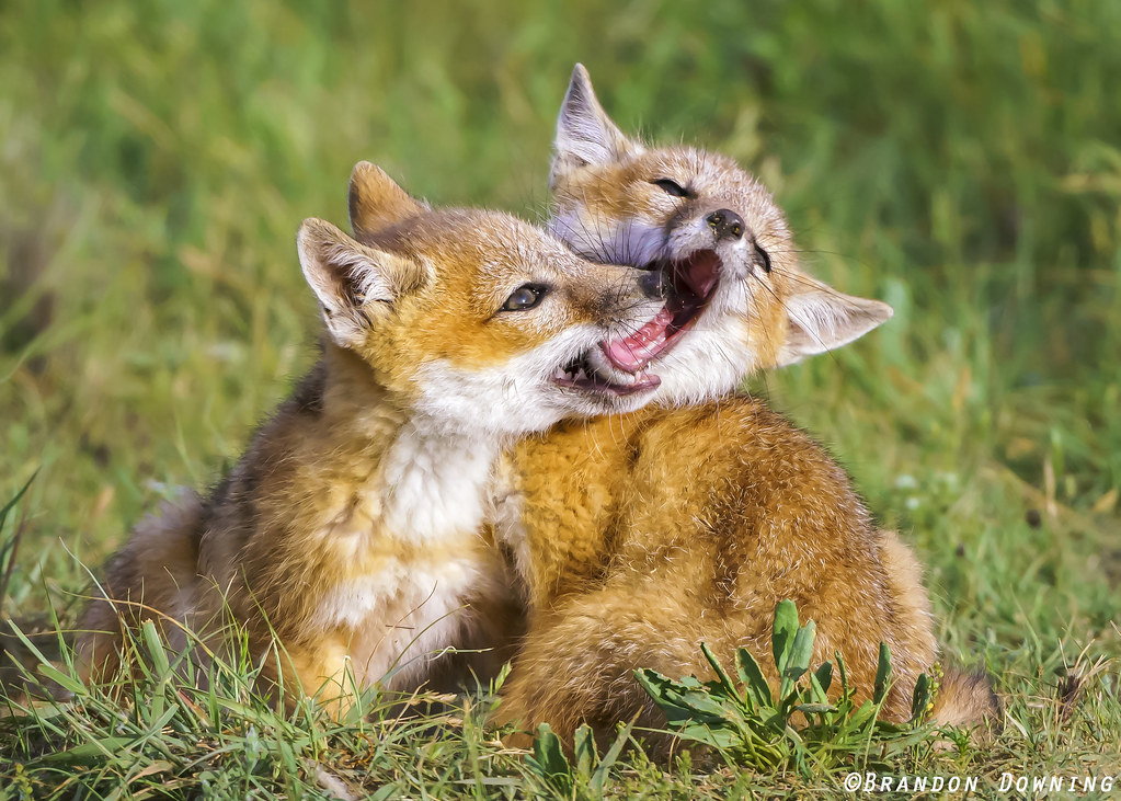 Swift Fox Kits