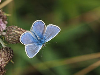 Common Blue | by bredmañ