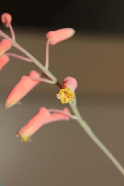 Aloe descoingsii x rauhii (probable) 18410517490_468cf748dc_z