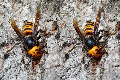 Queen of Vespa mandarinia japonica, stereo parallel view
