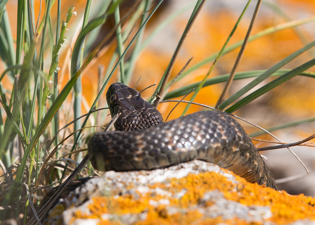 Grass Snake Bulgaria