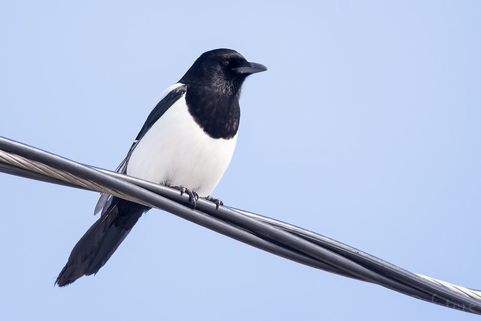Harakas, Pica, Common, Magpie, Eurasian, Black-billed, Estonia, Kaido Rummel