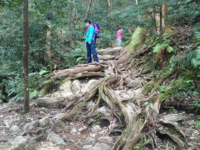 金華山 めい想の小径 登山道 木の根