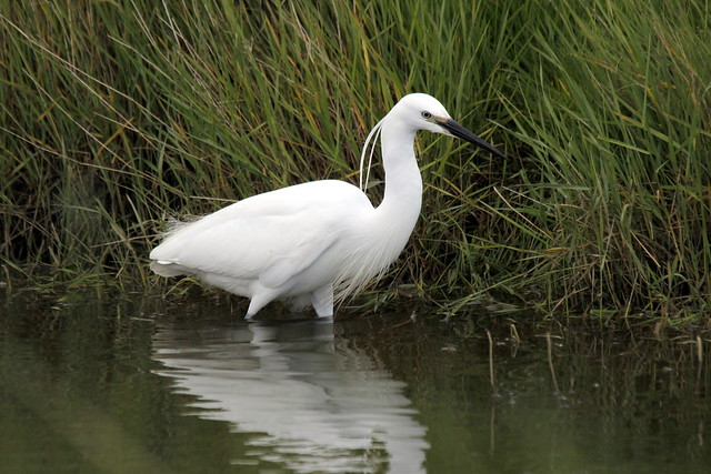 Little Egret near 360 Hide