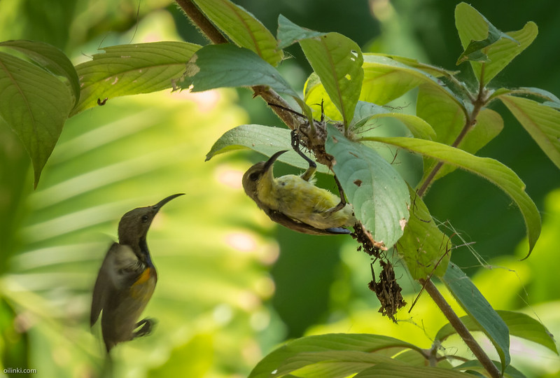 Olive backed sunbird couple making nest