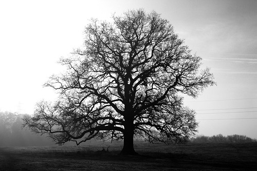 Hallow - January Oak Tree