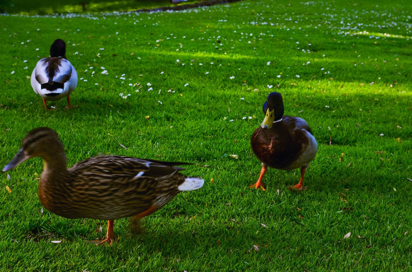 Canards - Jardin des plantes Nantes