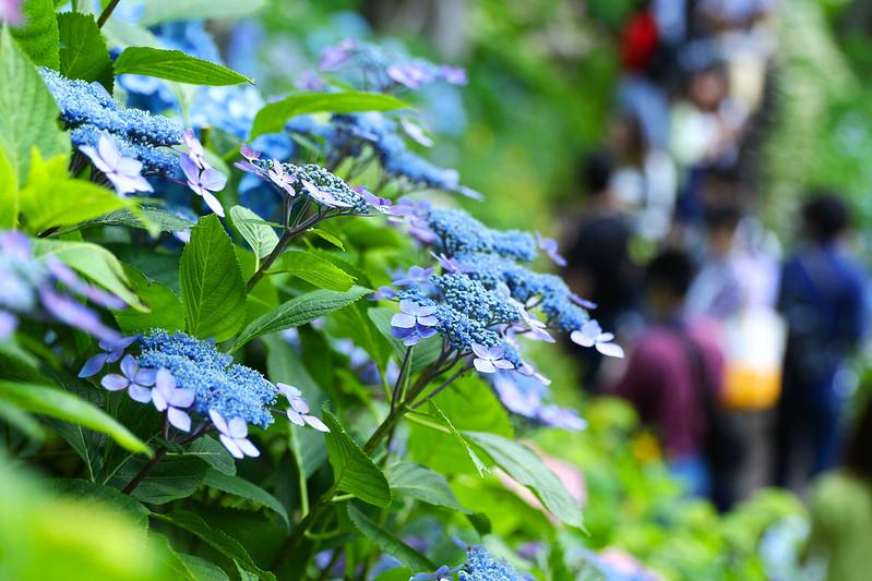長谷寺 紫陽花