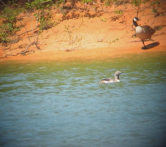 Red-throated Loon- Kerr Reservoir, Mecklenburg Co., Va 6-21-15