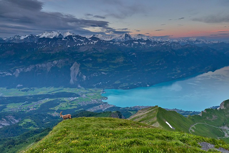 Ibex in the morning - Brienzer Rothorn