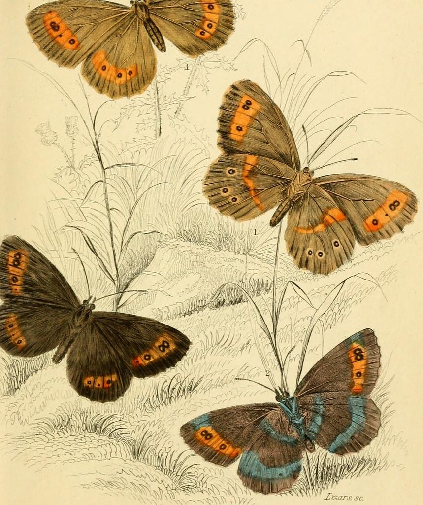 British Butterflies (1855)