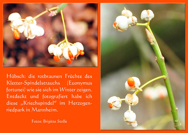 Spindelbaumgewächs ... Kletter-Spindelstrauchs (Euonymus fortunei) ... Botanischer Winterspaziergang im Herzogenriedpark Mannheim ... Fotos: Brigitte Stolle, Mannheim