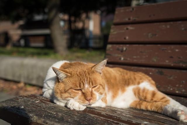 公園のベンチで寝るトラ猫