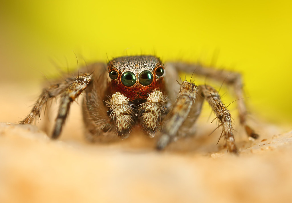 Colorful jumping spider - photo#36