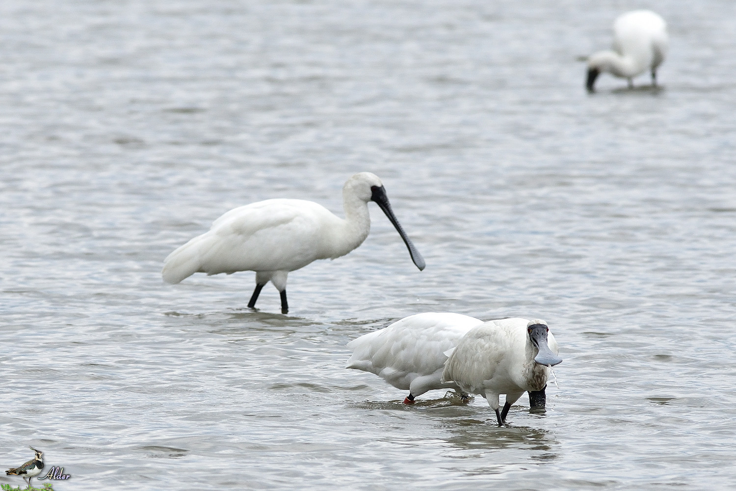 Black-faced_Spoonbill_5155