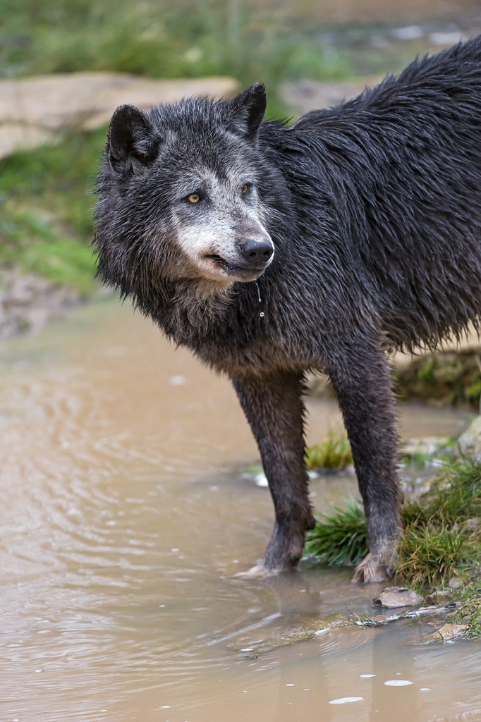 Black timberwolf at the water