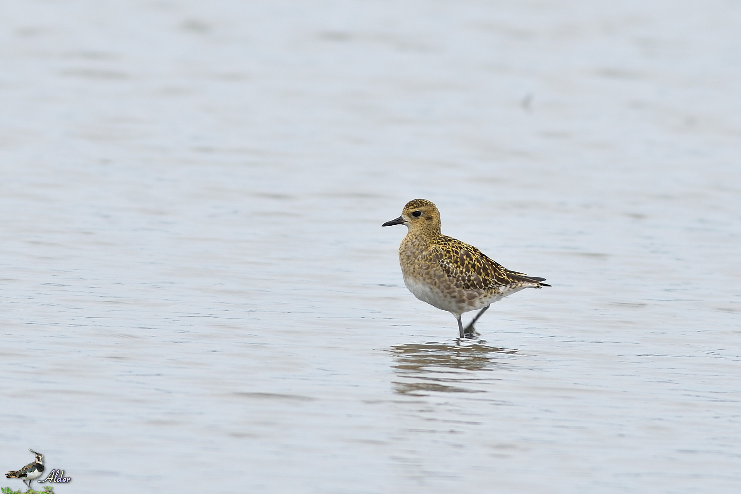 Pacific_Golden_Plover_4490