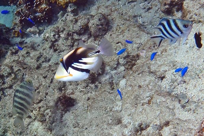 36 沖繩自由行 水上活動 香蕉船 Marine Support TIDE 殘波 藍洞海洋觀光 藍洞浮潛&珊瑚礁 餵食熱帶魚浮潛