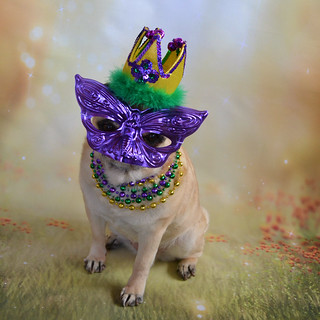 Bailey Puggins Is Ready For The Mardi Gras Party! | by DaPuglet