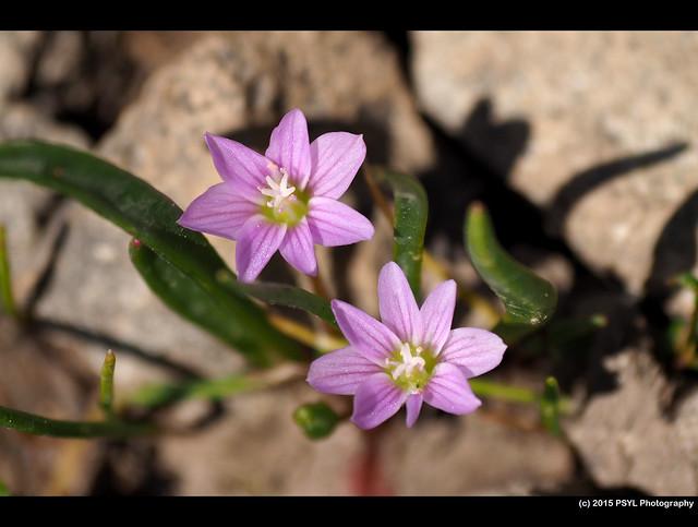 Pygmy bitterroot (Lewisia pygmaea)