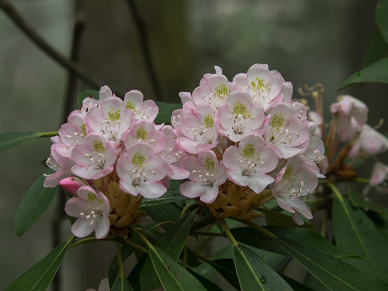 Rose Bay Rhododendron