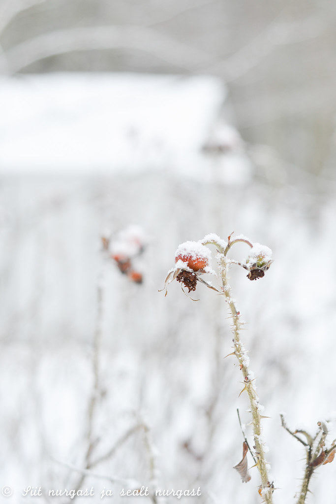 kibuvits, januar