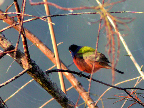 Painted Bunting male 2-20170206