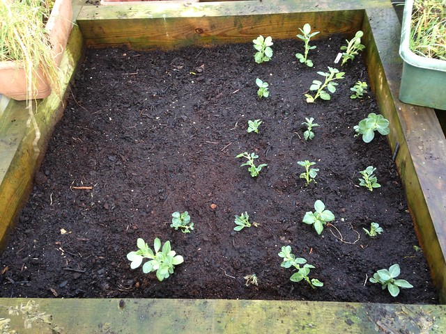Broad beans - planted and sown