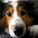 soulful shetland sheepdog