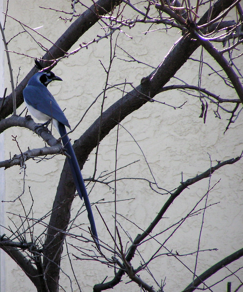 black-throated magpie jay - best viewed large | this amazing… | flickr