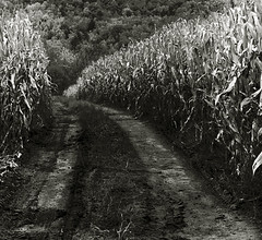 Corn-o-copia | by Crick3