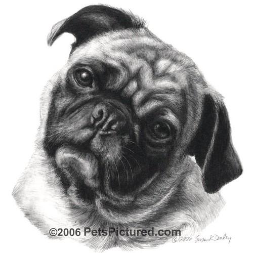 Portrait Of A Pug. Graphite Pencil Drawing, 8x8