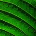 flame flower leaf