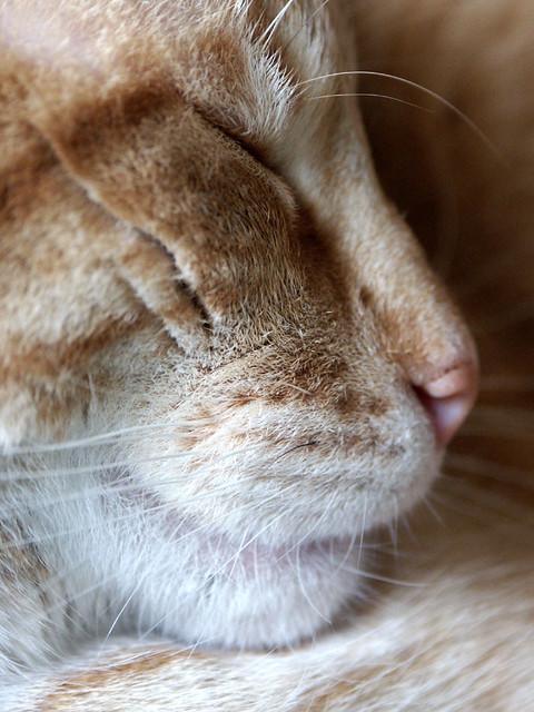 Cat Close Up Eyes Closed Emerald Eyes Ginger Cat
